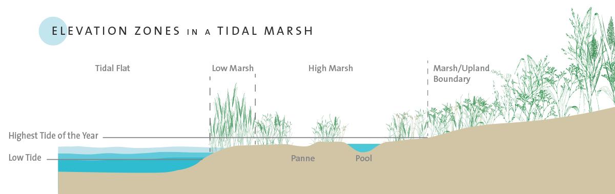 Elevation zones in a tidal marsh